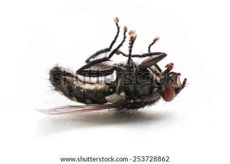 A dead fly lying on its back on white background