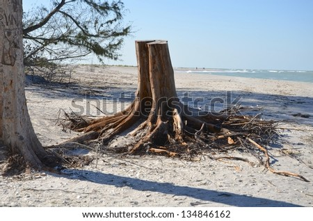 A dead tree stump washed up on a tropical beach - stock photo