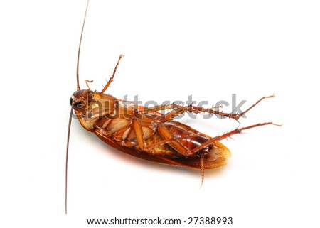 A death cockroach isolated on white background.