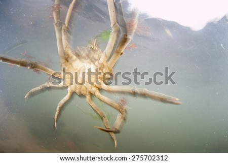 A decorator crab is swept up in a strong tidal current in a shallow bay in Cape Cod, Massachusetts.  - stock photo