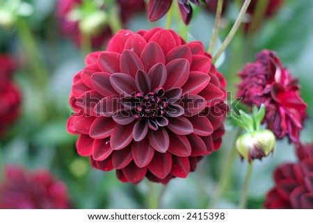 A deep red dahlia bloom (formal decorative type) against a background of other dahlias and foliage - stock photo