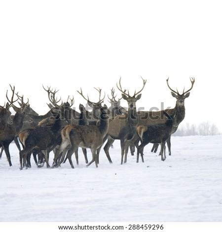 A deer herd in fields winter - stock photo