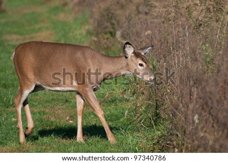 A Deer in the Field
