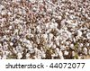 a defoliated cotton field ready for harvest - stock photo