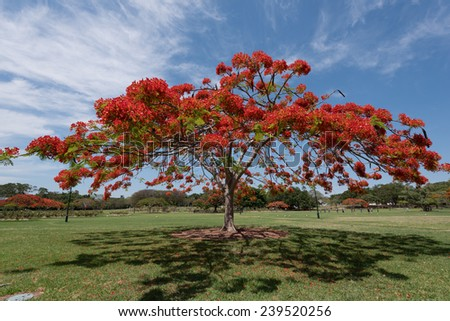 A Delonix Regia in red bloom in a parc in Brisbane, Australia - stock photo