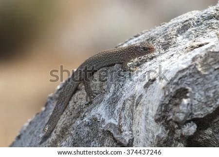 A desert night lizard (Xantusia vigilis) in Southern California.   - stock photo