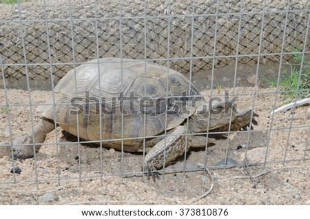 A desert tortoise being kept out of a job site by exclusionary fencing. - stock photo