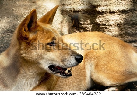 A detail of dingo in the zoo - stock photo
