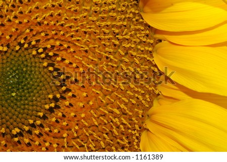 A detail shot of a giant sunflower. - stock photo