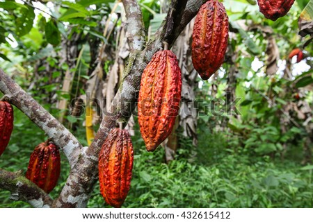 A detail view of hanging cocoa pods on a tree in Huayhuantillo village near Tingo Maria in Peru, 2011
