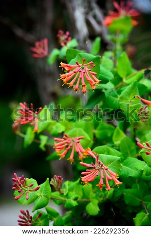 A detailed close up of trumpet honeysuckle flowers blooming.  - stock photo