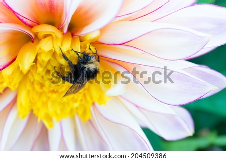 A dew covered bumblebee clings to a large dahlia blossom in Golden Gate Park's Dahlia Garden. - stock photo