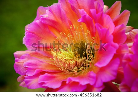 A diagonal view of a Trichocereus, Flying Saucer bloom the morning after it bloomed.  This is a night blooming cactus flower and is vibrant pink in color - stock photo