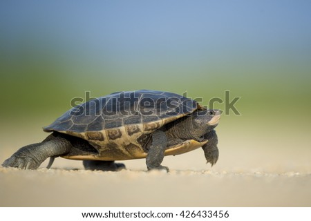 A Diamond Back Terrapin walks across a dirt road on a sunny afternoon.