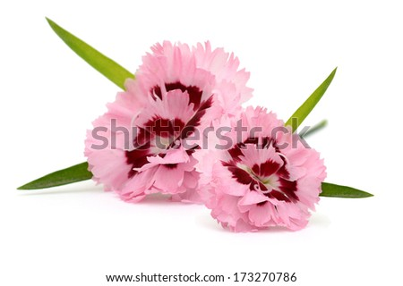 A Dianthus flower, mother and child