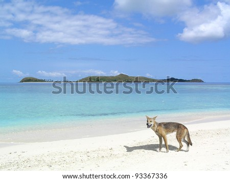 A dingo by the beach in Australia. - stock photo