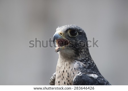 A disabled falcon stares at the camera, wide eyed and open mouthed. The image shows the  head and upper torso of a falcon, - stock photo