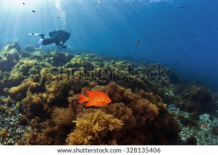 A diver and a Garibaldi swim along a reef in Catalina, California