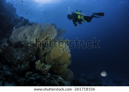 a diver dives in the red sea in the blue with the sunrays and the coral in the foreground - stock photo