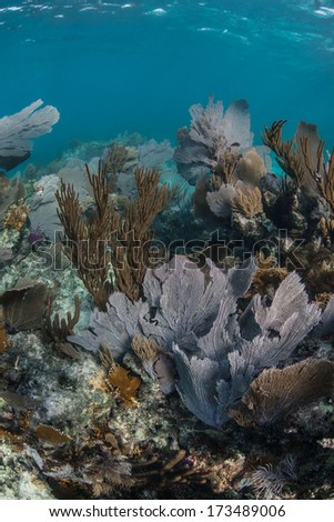 A diverse coral reef dominated by gorgonians grows in the shallow waters of Belize's barrier reef in the Caribbean Sea. Belize's reef is 220 km long, running from the Yucatan to the Gulf of Honduras. - stock photo