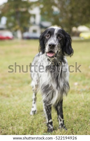 A dog, an english setter, standing in the green grass, enjoying lovely weather