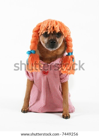 a dog dressed up with a wig and a dress - stock photo