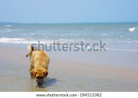 a dog is drinking the sea water on the beach in Thailand - stock photo