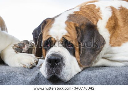 A dog is feeling down. A St Bernard dog laying on the floor and looking depressing.