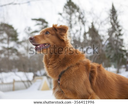 A dog is standing on the back yard during winter. The dog is begging and waiting for treats. - stock photo