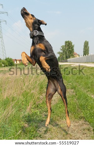 a dog jumping through the air to catch an appetizer - stock photo
