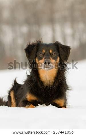 A dog lying in the snow and looks attentively at the camera - stock photo