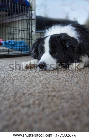 A dog lying on the floor looking off in the distance - stock photo
