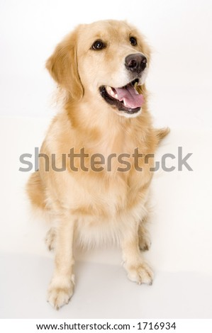 A dog pants and looks up at her owner - stock photo