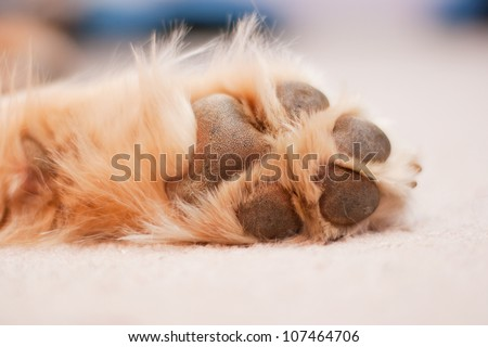 A dog paw with pads on a light carpet, image slightly toned/Dog Paw/A dog's paw rests - stock photo