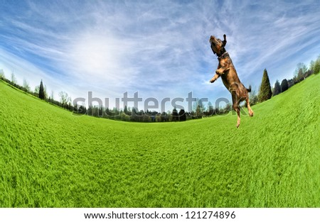 a dog playing jumping in the air in a park - stock photo