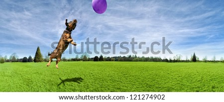 a dog playing with a ball in a park - stock photo