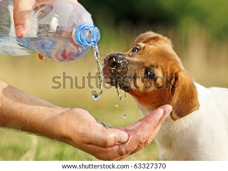 A dog  (puppy Jack Russel) drinking water straight - stock photo