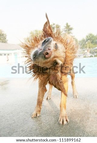 a dog shaking off water at a public pool - stock photo