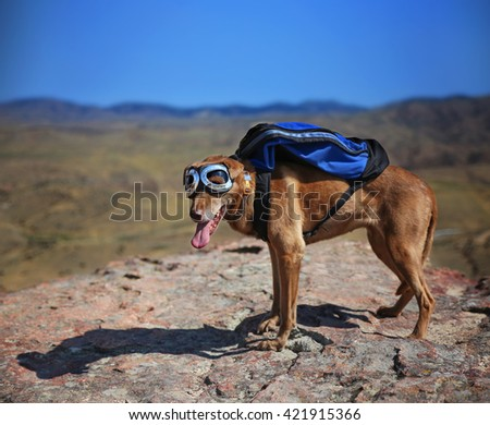 a dog standing on a mountain top with a canvas backpack looking over a skyline toned with a retro vintage instagram filter - shallow DOF FOCUS on the face - stock photo