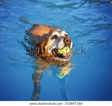a dog swimming at a local public pool at sunset  - stock photo