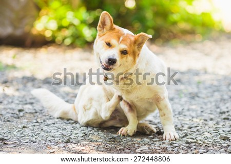 a dog try to scratching its skin. - stock photo
