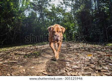 A Dogue de Bordeaux dog patrols the driveway. - stock photo