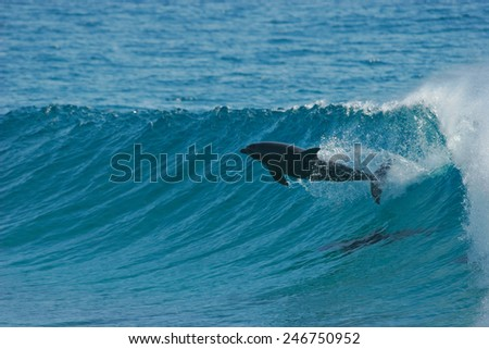 A dolphin leaps through the face of a wave that it has been surfing. - stock photo
