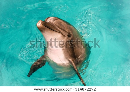 A dolphin playing and emerging out of the pool with sea water