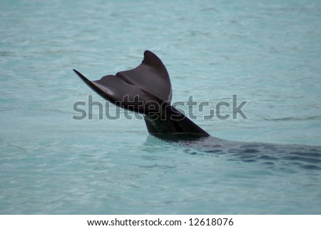 A dolphin with its tail out of the water