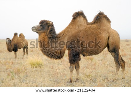 a domestic bactrian camel