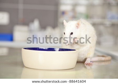 a domestic rat sitting at a bowl on a operating table in a veterinarian practice and eating something - stock photo