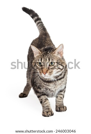 A Domestic Shorthair Tabby Cat in a stalking position.  - stock photo