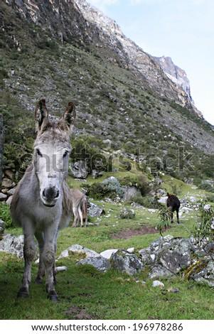 A donkey along the trail near Huaraz, Peru - stock photo