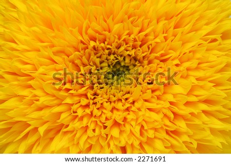 A double sunflower in closeup - natural background